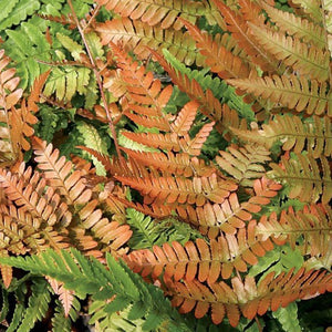 Dryopteris erythrosora  Brilliance' Autumn Fern
