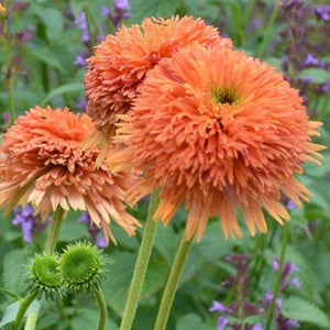 Echinacea 'Colorburst Orange' Coneflower