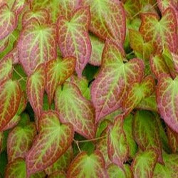 Epimedium x 'Rubrum' Red Leaved
