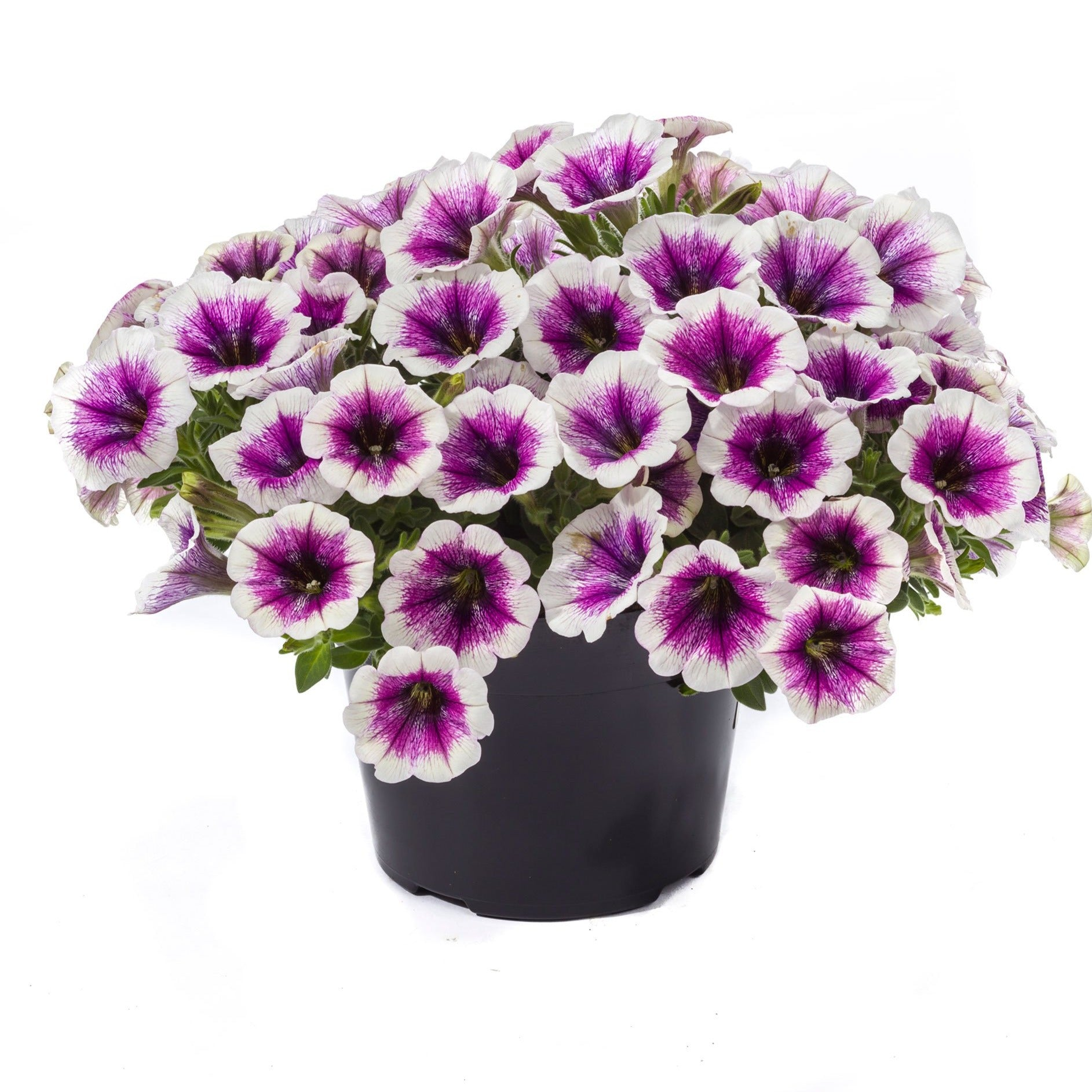 Petunia Good & Plenty Purple Skirt