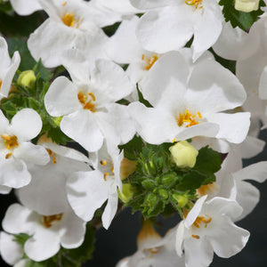 Sutera Betty Bacopa White