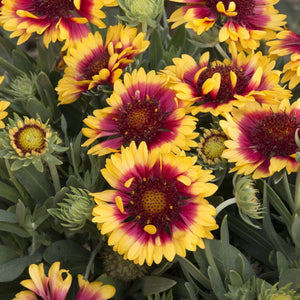 Gaillardia Sunset Snappy