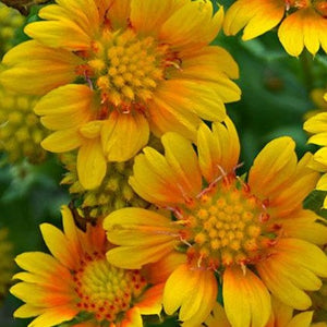 Gaillardia 'Arizona Apricot' Blanket Flower