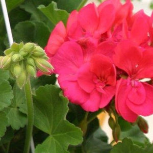 Geranium Patriot Cherry Rose