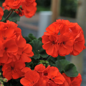 Geranium Savannah Oh So Orange