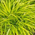 Hakonechloa macra 'All Gold' Japanese Forest Grass