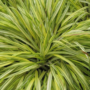 Hakonechloa macra 'Aureola' Golden-leaved Japanese Forest Grass