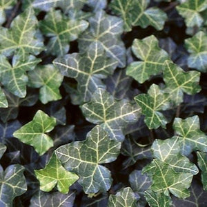 Hedera helix 'Thorndale Ivy'