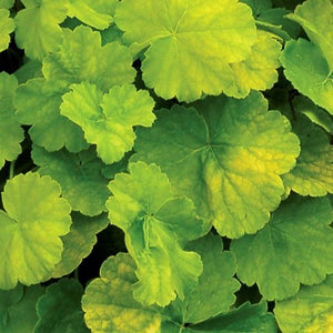 Heuchera Northerm Exposure Lime