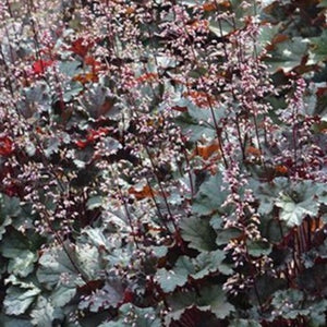 Heuchera 'Dark Secret' Coral Bells