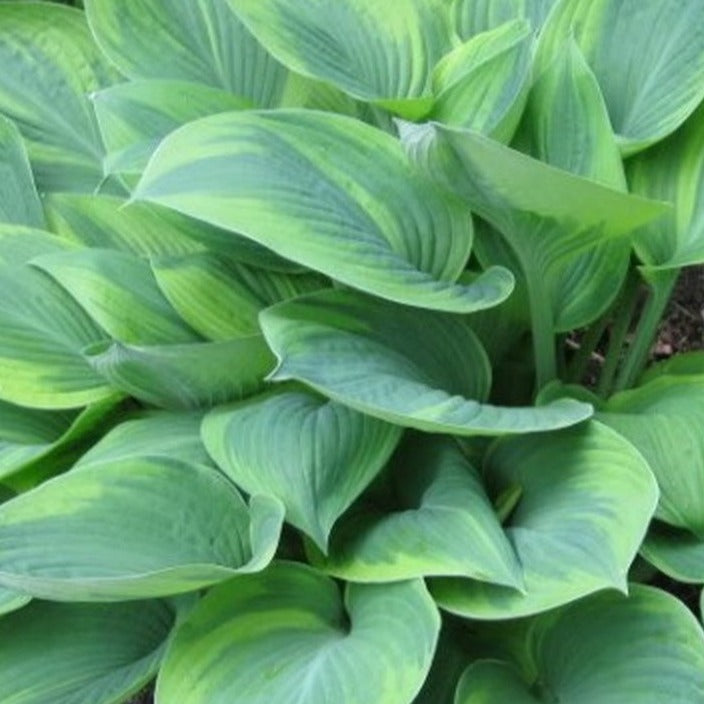 Hosta Alex Summers