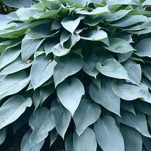 Hosta 'Awakening Angel'