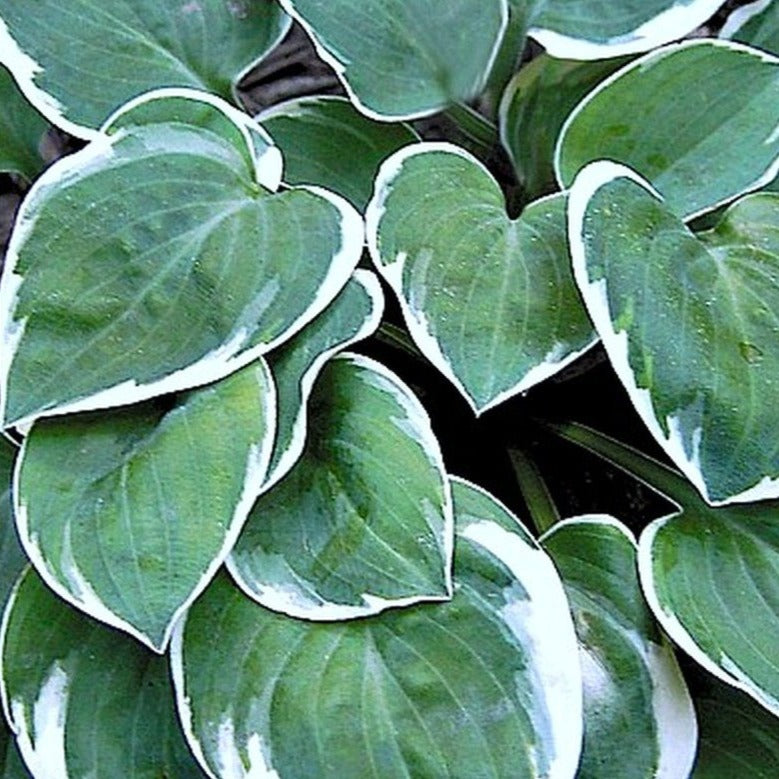 Hosta 'Country Mouse' Pocket Hosta