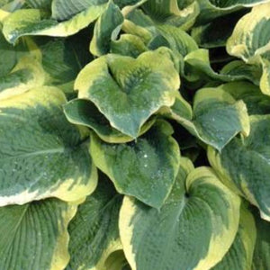 Hosta sieboldiana 'Northern Exposure'
