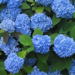 Hydrangea Endless Summer 'The Original'