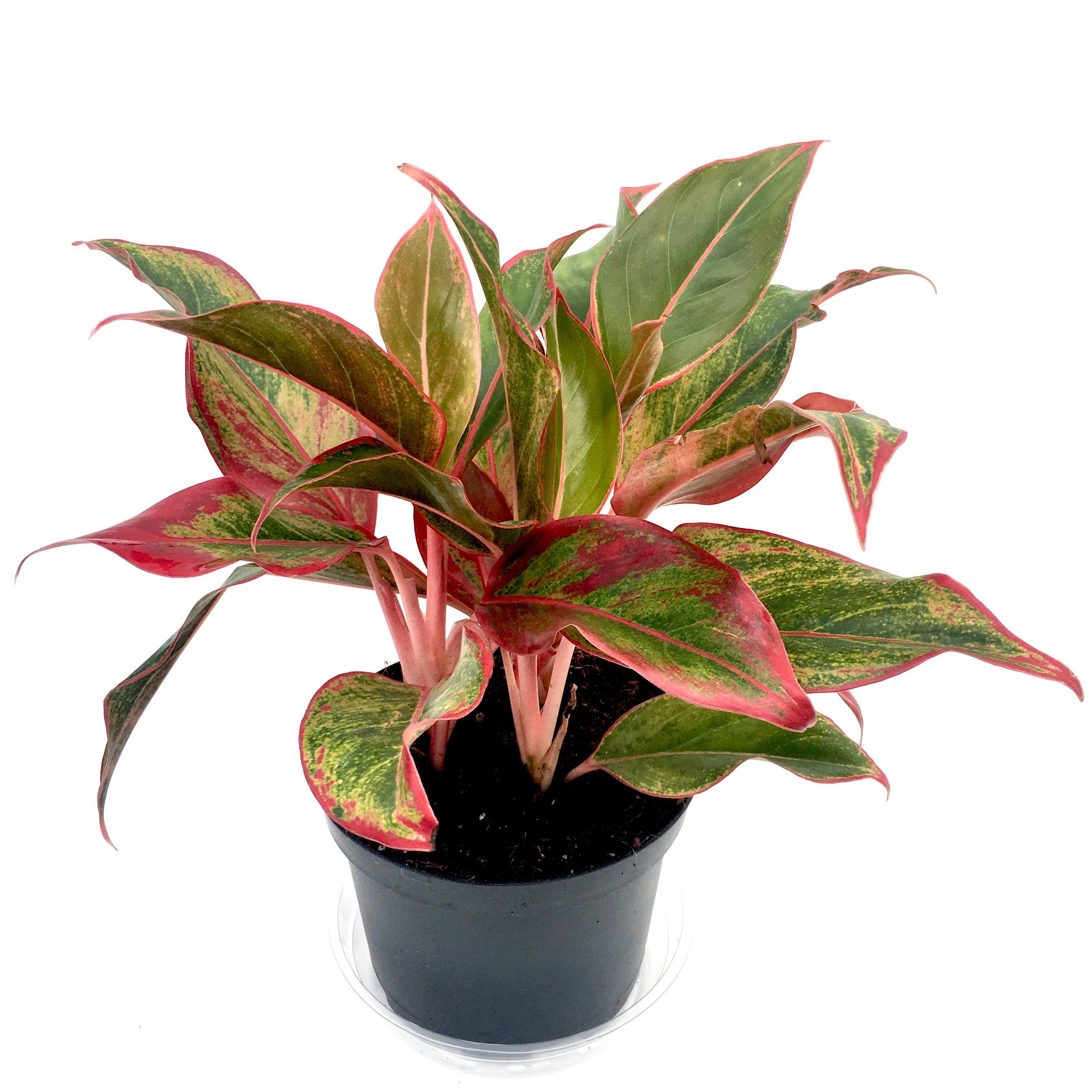 Aglaonema 'Siam' (Chinese evergreen)