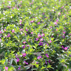 Cuphea Mexican Heather  HB