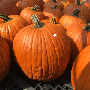 Pumpkins (Medium Sized)