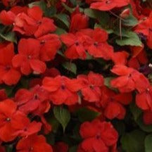 Impatiens Beacon Red