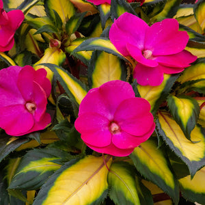 Impatiens Sunpatiens Tropical Rose Bicolor