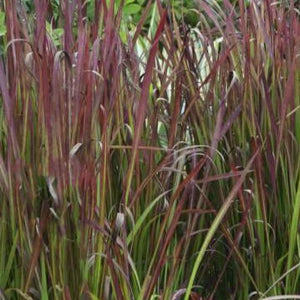 Imperata cylindrica 'Red Baron' Japanese Blood Grass