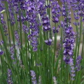 Lavandula Big Time Blue
