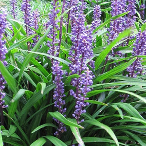 Liriope muscari 'Big Blue' Lily-turf