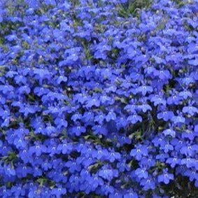 Lobelia Techno Heat Upright Blue