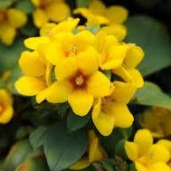 Lysimachia Triple Play Mix