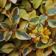 Lysimachia Verigated Lemon