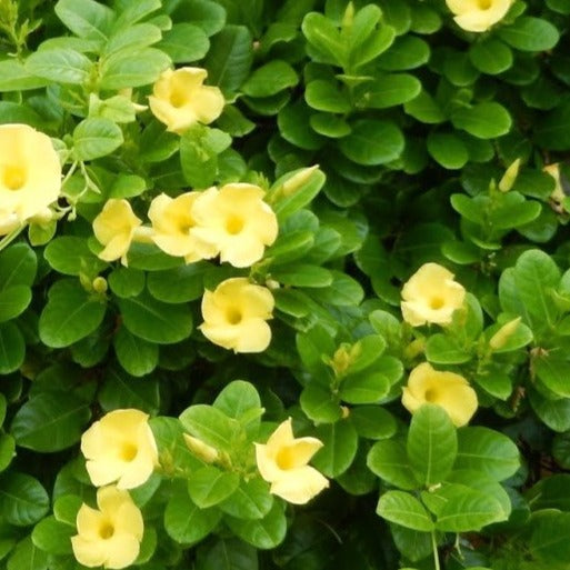 Mandavilla Yellow