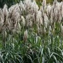 Miscanthus sinensis 'Malepartus' Japanese Silver Grass