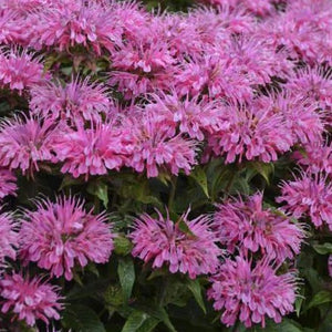Monarda Sugar Buzz Bubblegum Blast
