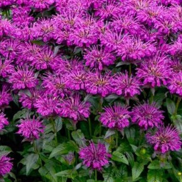 Monarda Sugar Buzz Grape Gumball