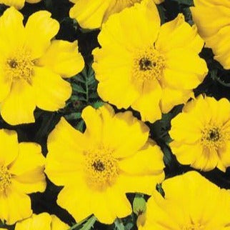 Marigolds Disco Yellow