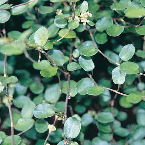 Muehlenbeckia Creeping Wire Vine