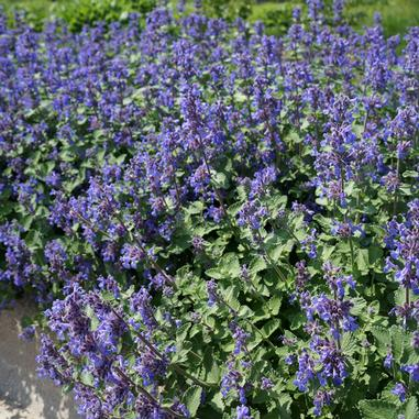 Nepeta 'Early Bird' Catmint
