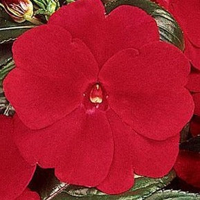 New Guinea Impatiens Celebration Deep Red HB