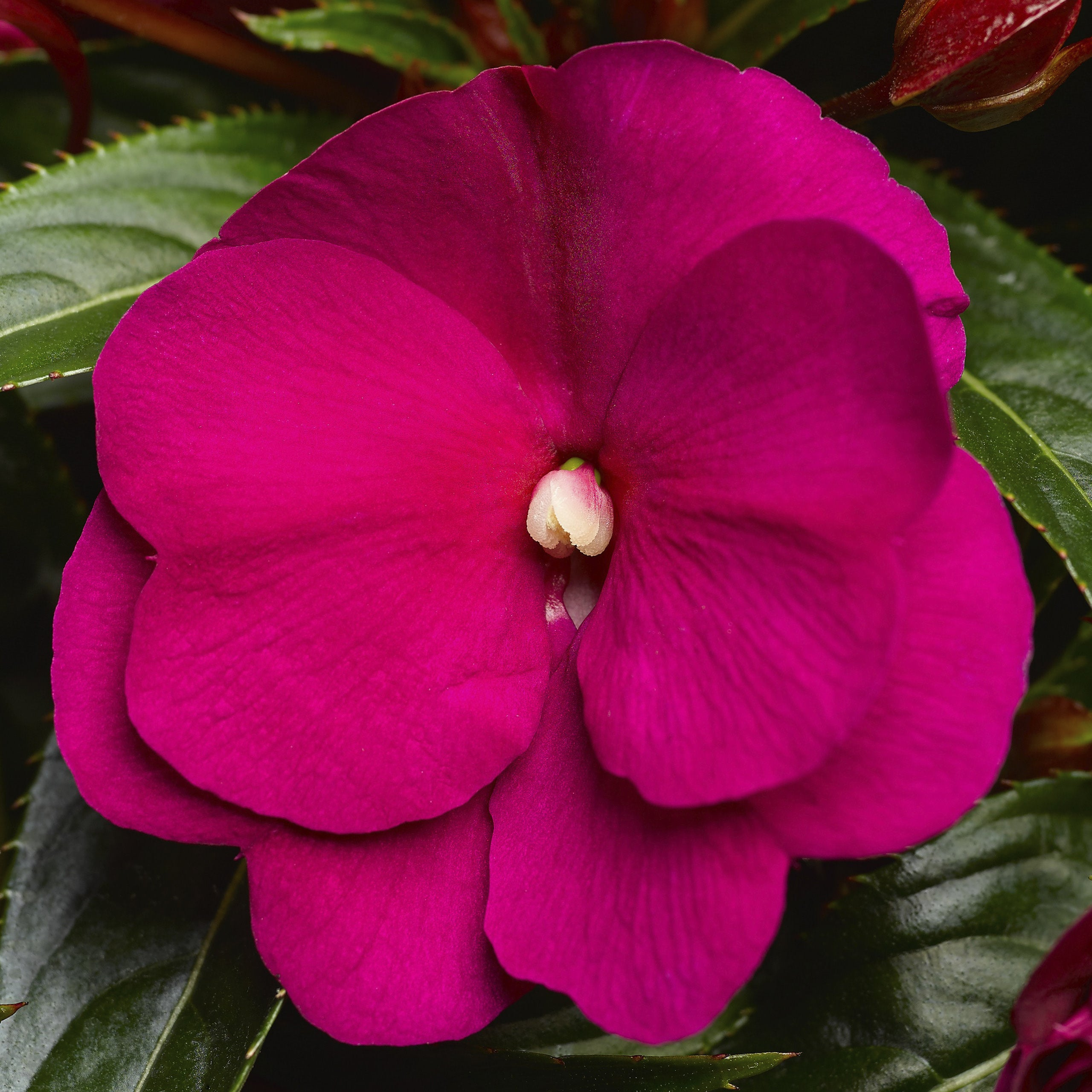 New Guinea Impatiens Sonic Deep Purple