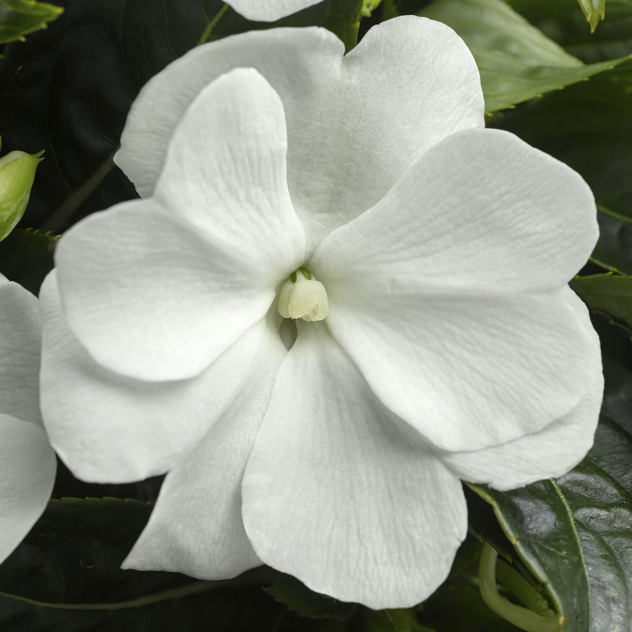 New Guinea Impatiens Sonic White Improved