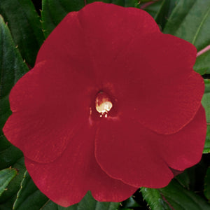 New Guinea Impatiens Super Sonic Red