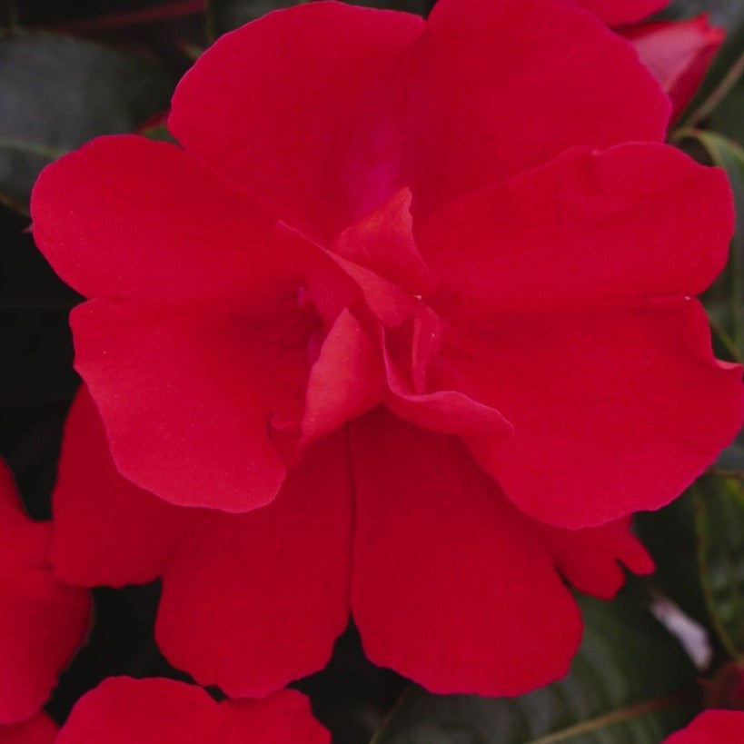 New Guinea Impatiens Wild Romance Red