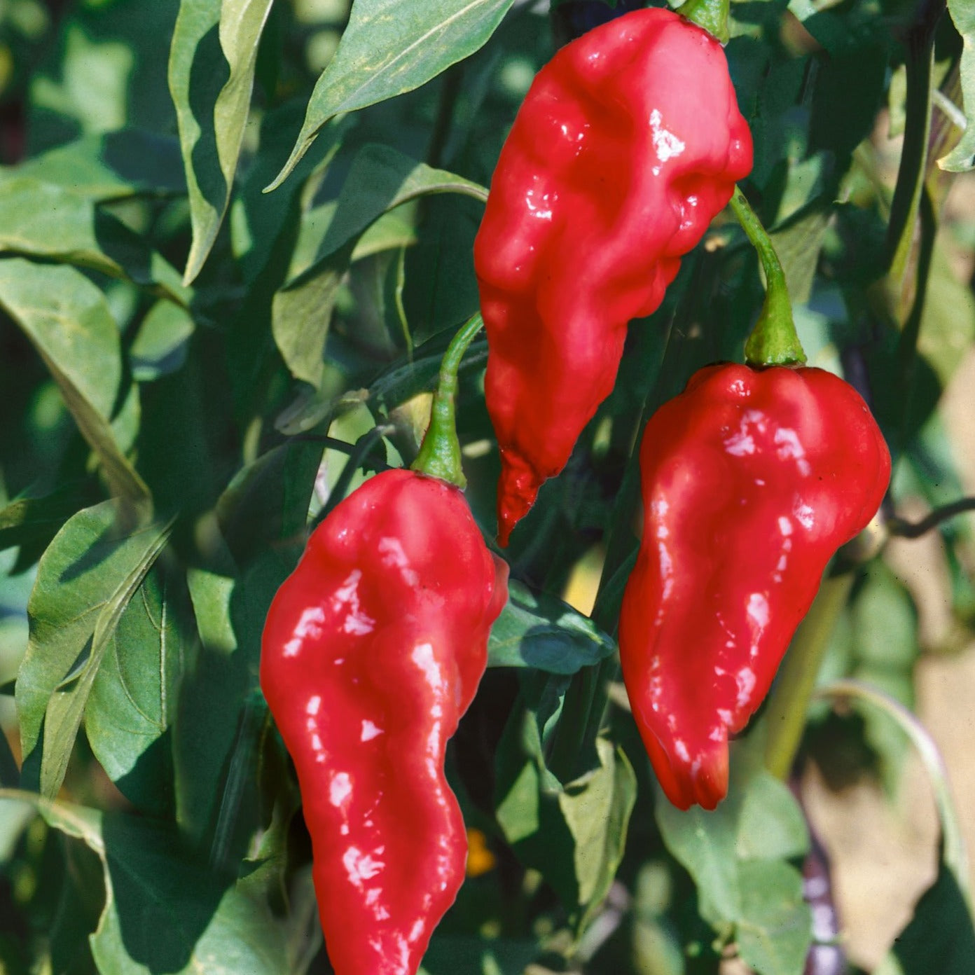 Pepper Ghost Pepper