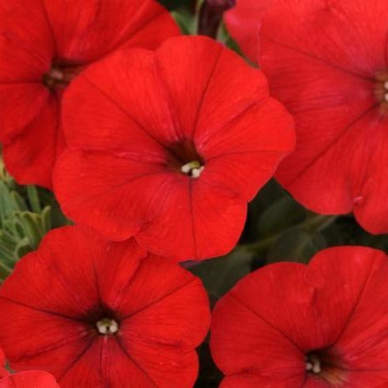 Petunia Suncatcher Red HB