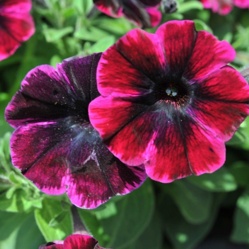 Petunia Sweetunia Johnny Flame