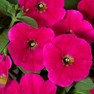 Petunia Good & Plenty Rose