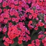 Phlox Bambini Cherry Crush