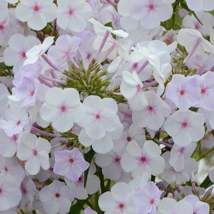 Phlox Fansionably Early Lavander Ice