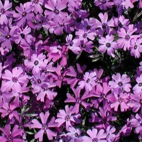Phlox subulata 'Purple Beauty' - Creeping Phlox