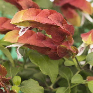 Shrimp Plant Braided Tree